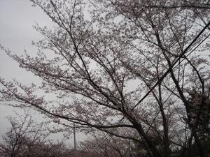 20090404_cherry03