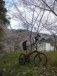 20091121_sakura