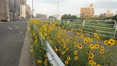 20110807_himawari