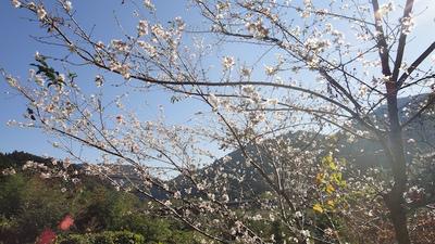 20111029_shikizakura2